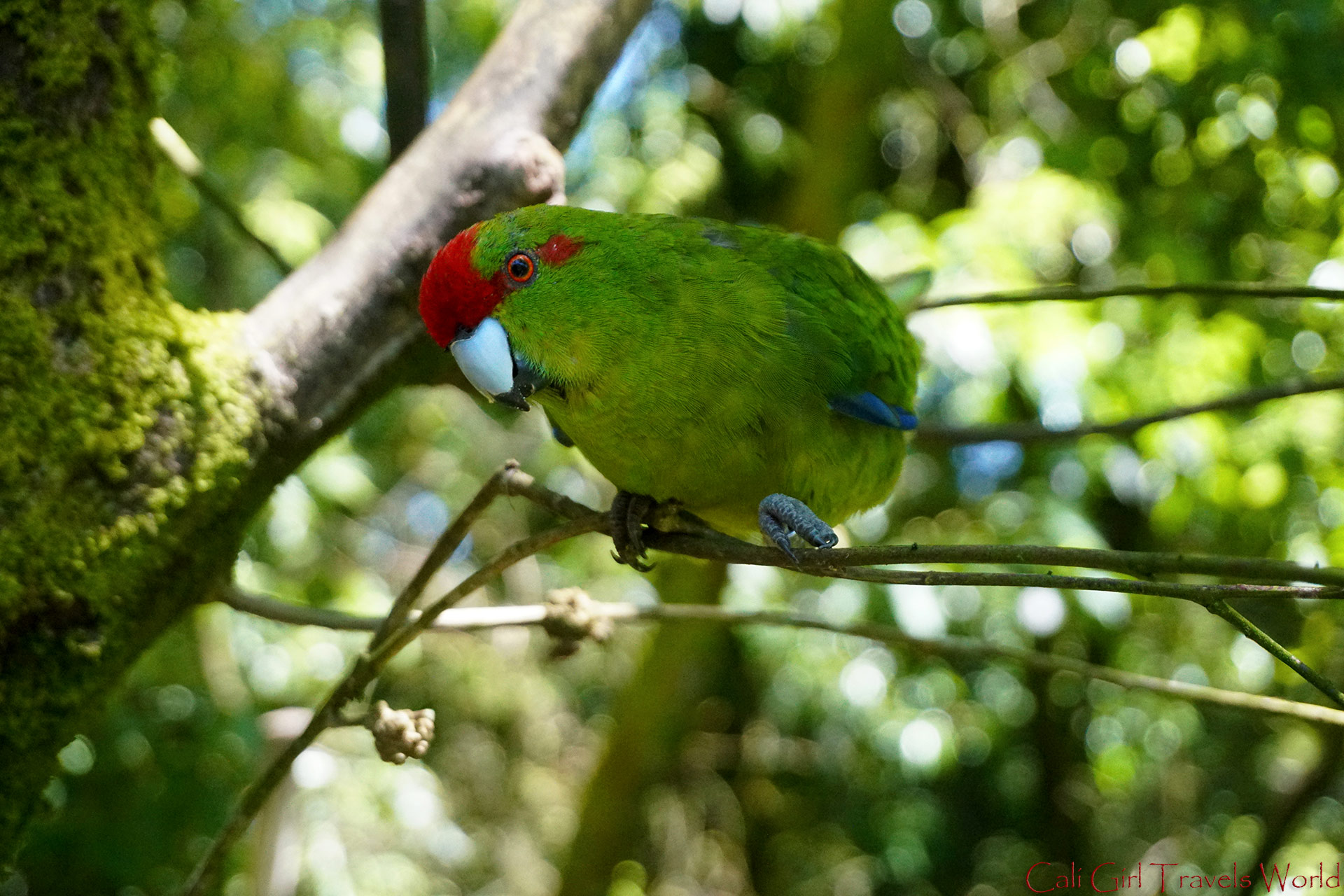 A wild native Kakariki bird of New Zealand on Tiritiri Matangi Island, near Auckland.