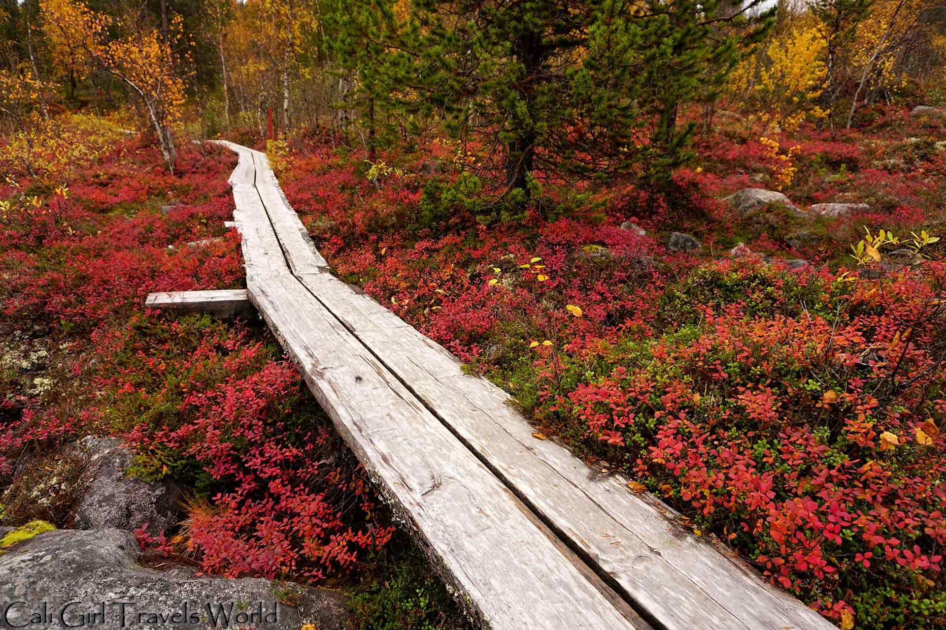 A colorful nature path through the forests of Inari, Finland, with overgrown yellow and red leaves everywhere.