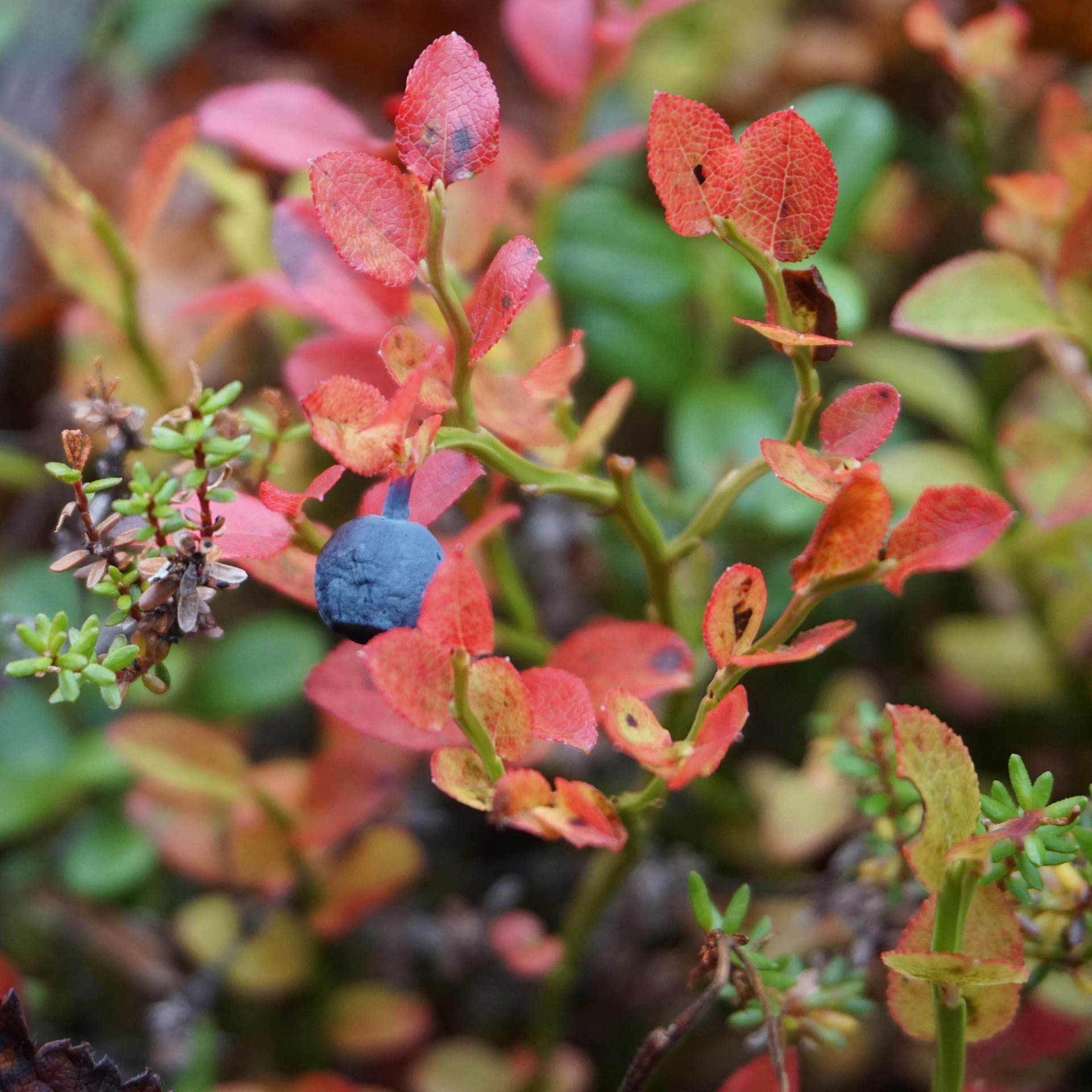 Bilberry growing on autumn leaves in Lapland.