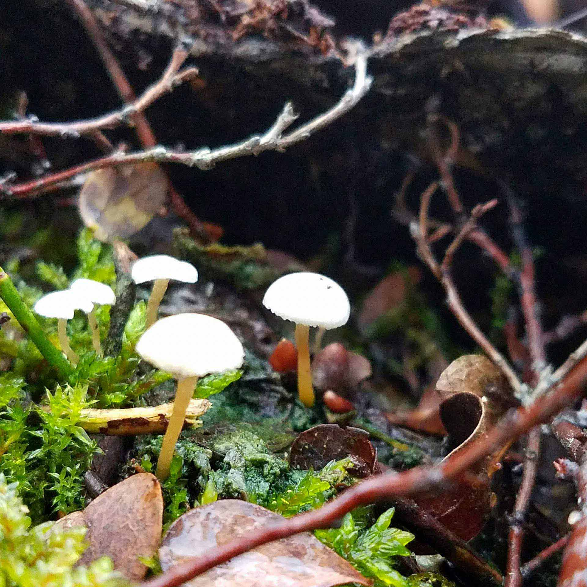 Group of white mushrooms growing along a nature walk in Scandinavia.