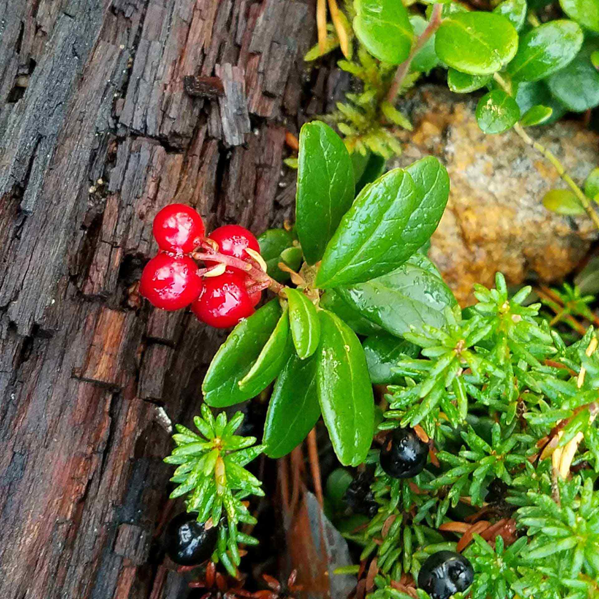 Ligonberries and Bilberries still on the bush covered in rain drops in Lapland, Finland.