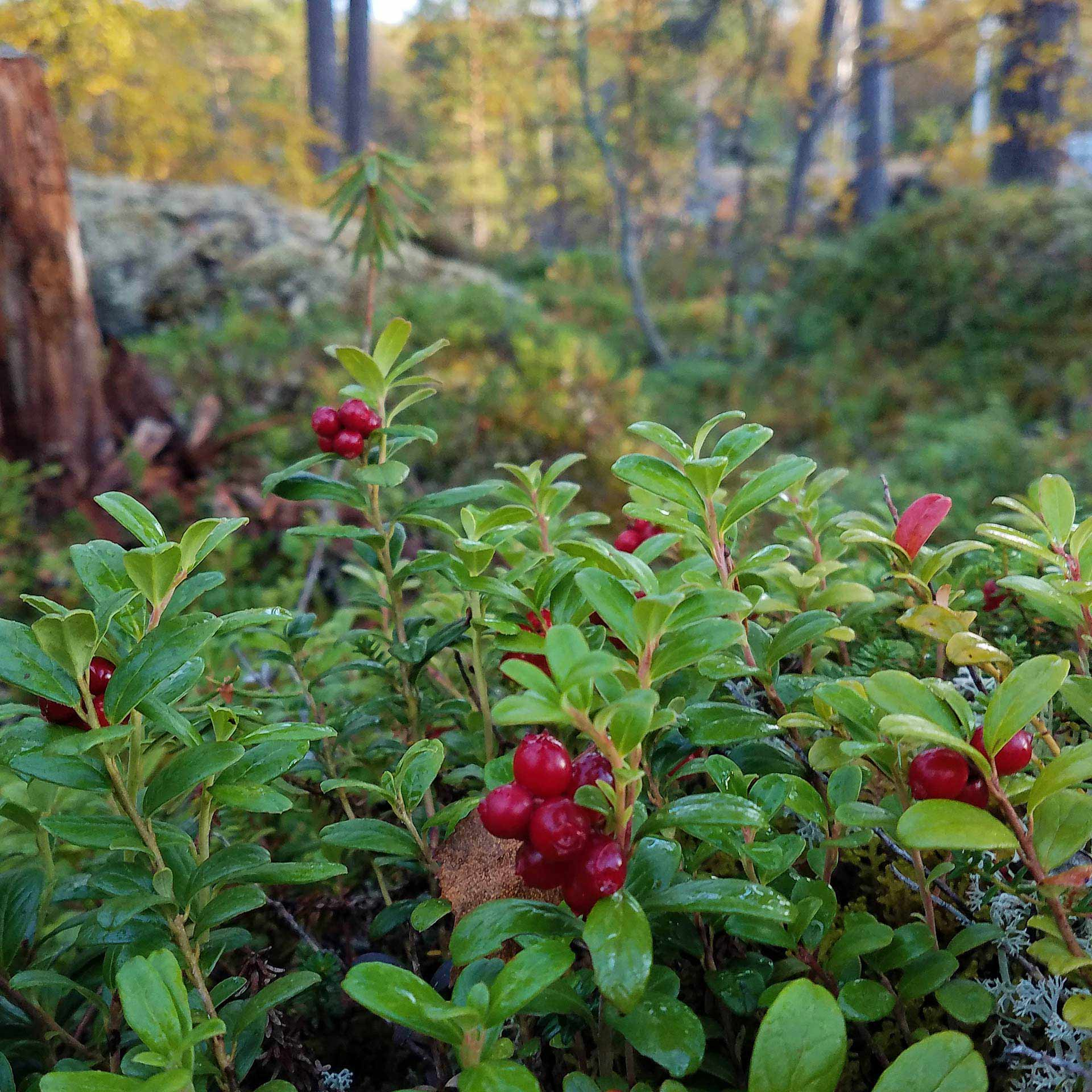 Ligonberries naturally carpeting the floor of the forest in Finland.