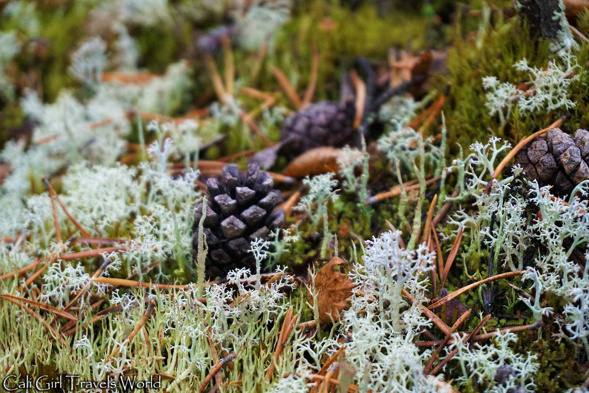 Pinecones among the lichen of the Finnish forest.