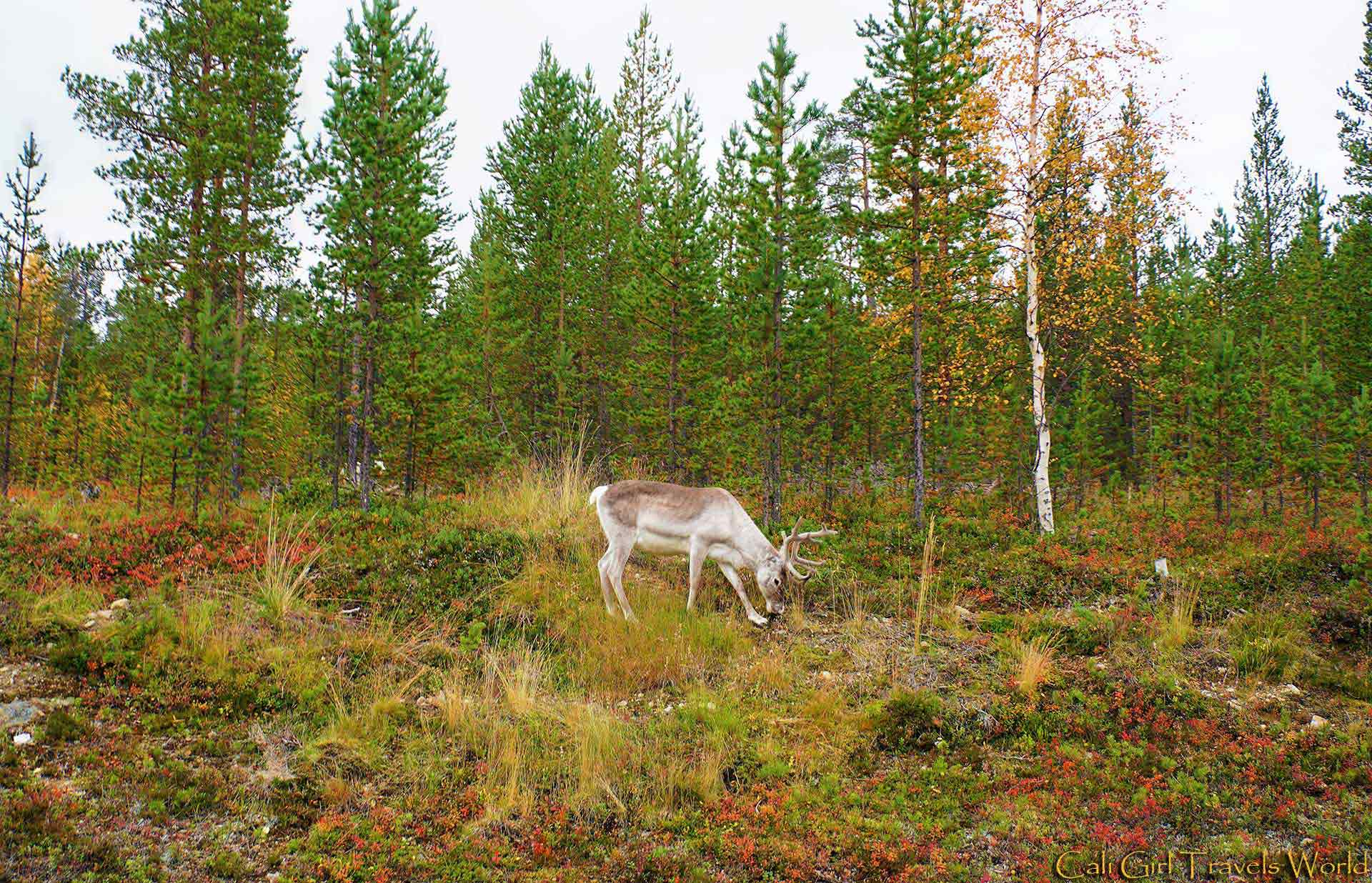 A reindeer deep in the forest of Lapland among the autumn colors.