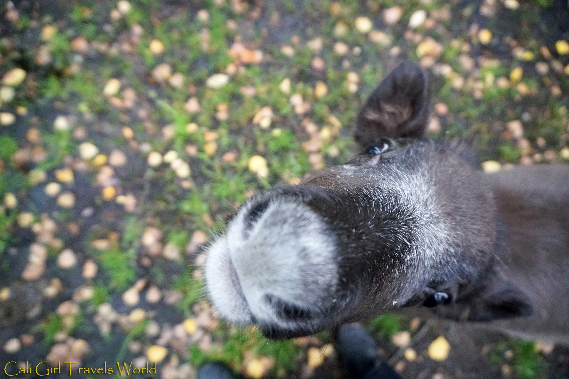 Little baby reindeer wanting to be fed fresh lichen that's in my pocket at Santa Claus Village in the arctic circle, Finland.