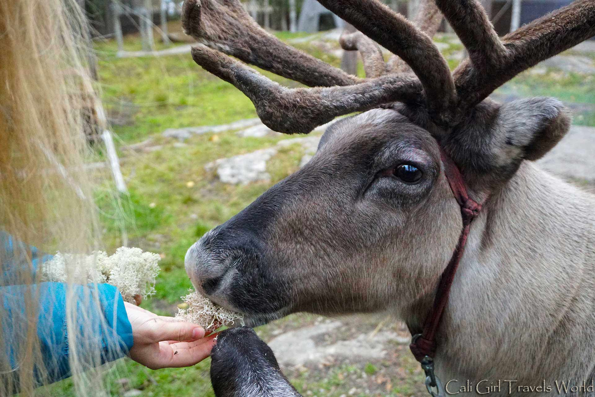 Feeding reindeer lichen in Santa Claus Village.