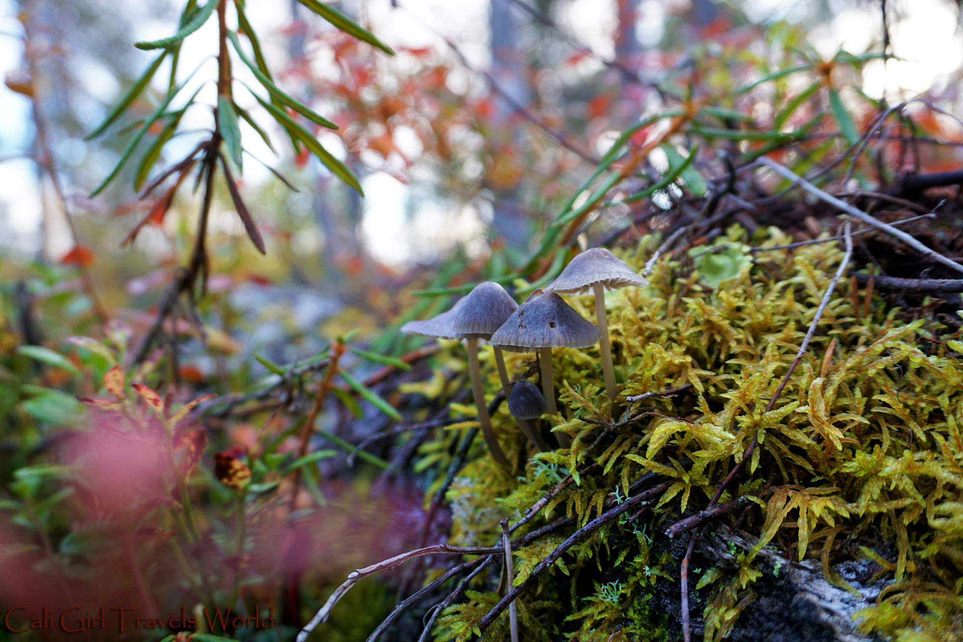 Three grey mushrooms growing on top of a rock in Finland in Autumn.